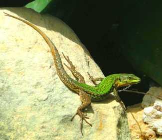 Gozitan_wall_lizard